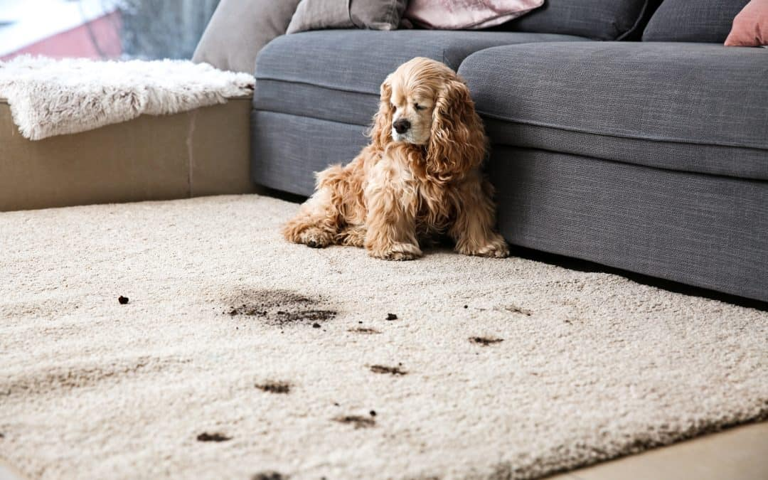 Keys To Getting Dog Poop Stains Out Of Your Carpet